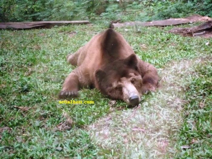 beruang di TSI 2