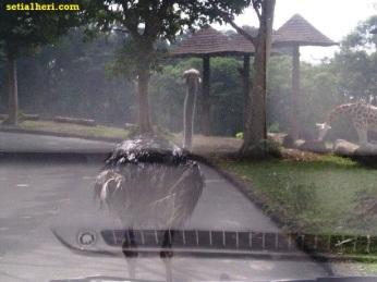 burung onta di taman safari