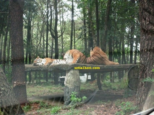 harimau di taman safari indonesia