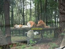 harimau di taman safari indonesia