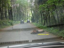 singa tidur di jalan